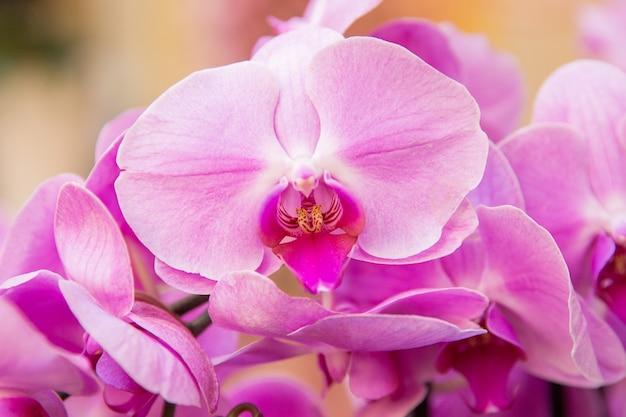 ピンクのラン。国際女性の日の祝典