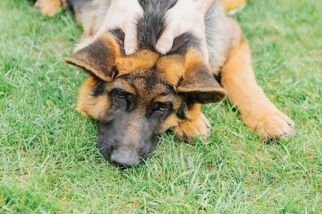 草の上の夏のジャーマンシェパードの子犬