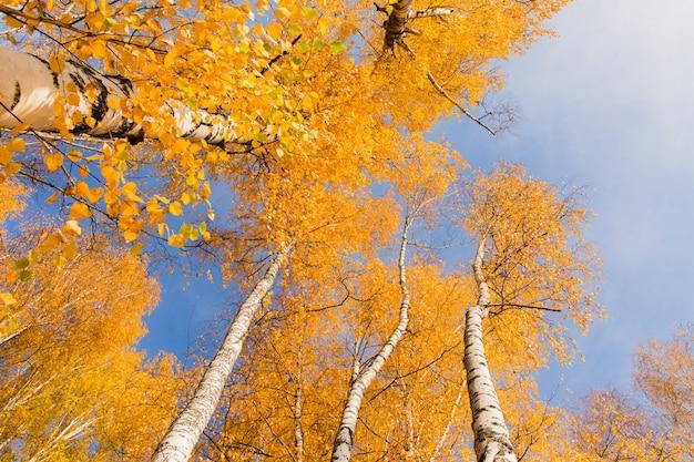 青い空の背景にオレンジの樺木。秋の風景。秋の森