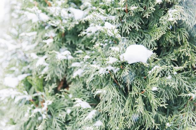 森の中の緑のトウヒの雪枝。クリスマスツリー