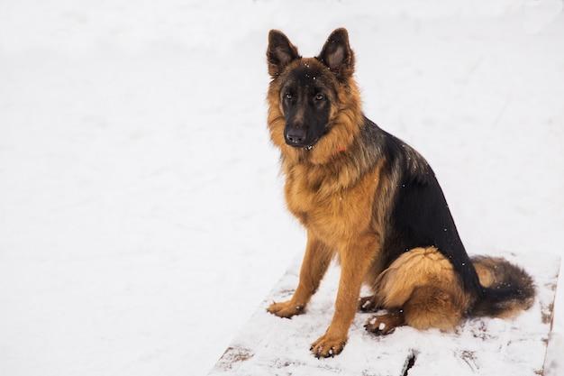 茶色の羊飼いが公園の雪の上に座っています。純血種の犬の散歩