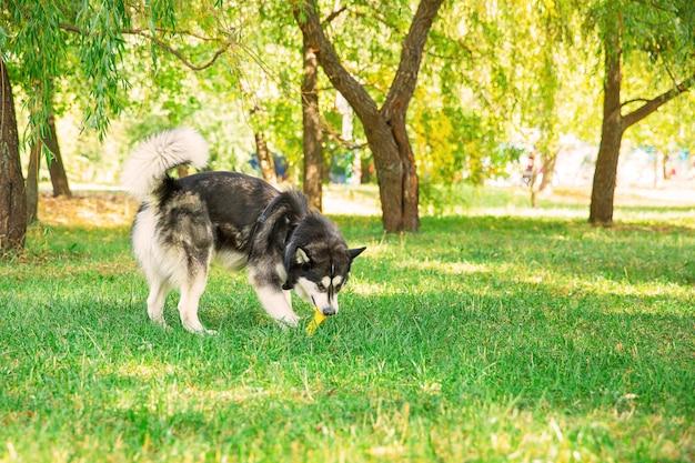 Игривая хриплая собака на траве в парке