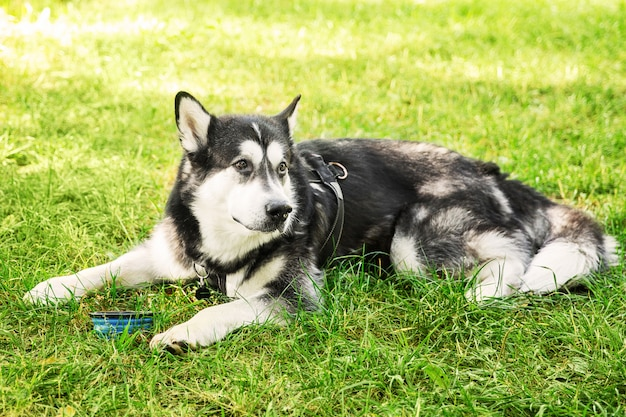 Большая черно-белая пьянящая собака пьет на грирасе в парке. лежащая собака