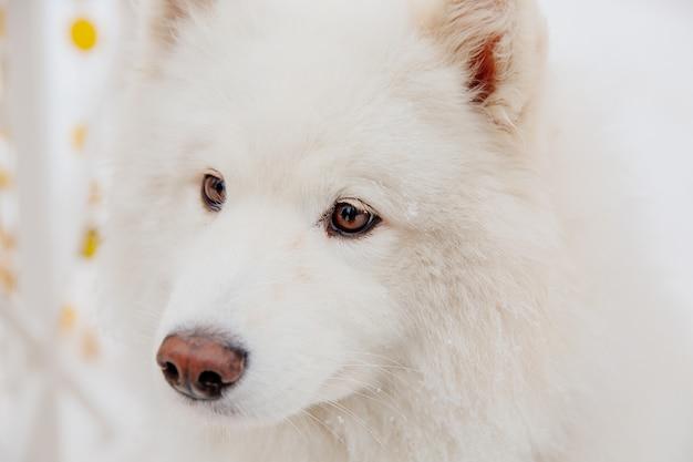森の中の雪の上の白い血統犬。面白い動物