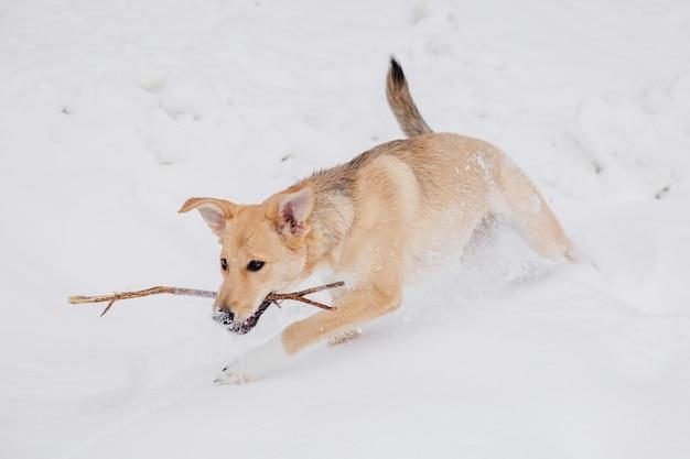 薄茶色の犬が森の中の雪の上の棒で遊んで。走っている犬