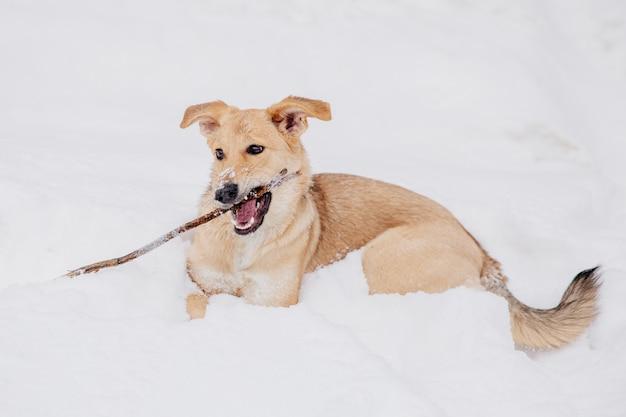 森の中の雪の上の棒で遊んで光の茶色の犬