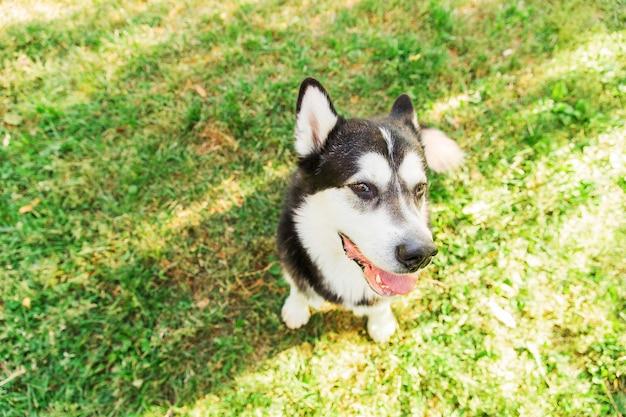 Черно-белая собака сидит на зеленой траве в парке. большая собачка