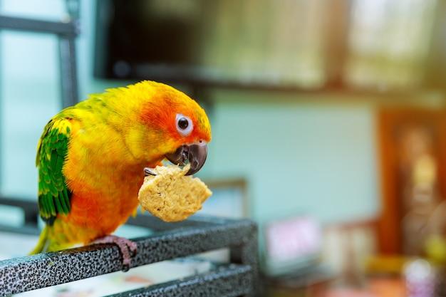 サンコニュアオウムがクッキーを食べる