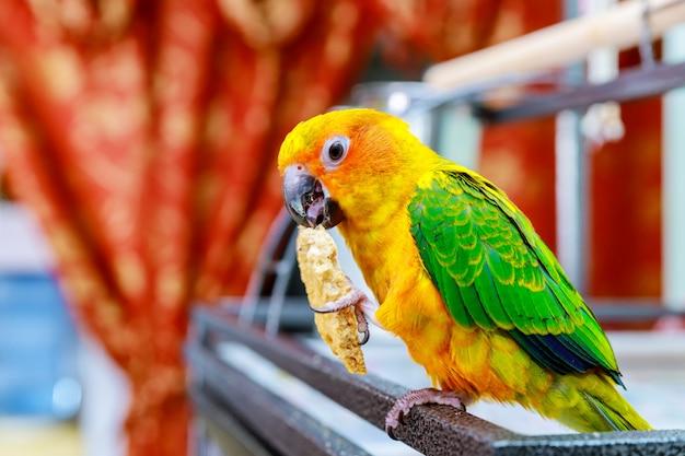 美しいカラフルな太陽コニュア野生のオウム食べるクッキー