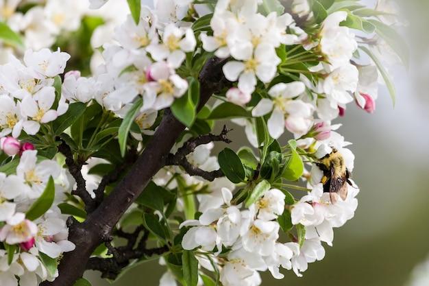 春の桜、ピンクの花。