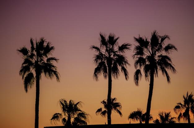 ヤシの木の夜明けフェニックスアリゾナ州アメリカ合衆国