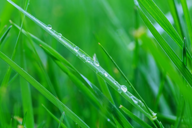 Свежая утренняя роса на весенней траве, естественный фон - крупным планом