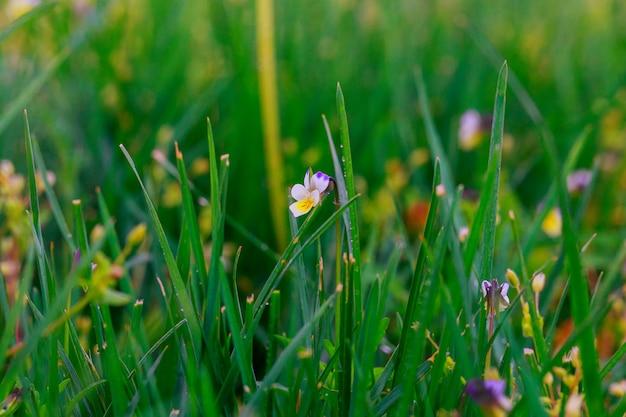 春の芝生の上の新鮮な朝露のクローズアップ