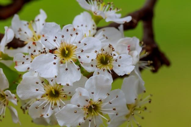 Ветка сакуры. весенние молодые цветы. солнечный свет через