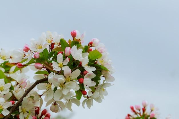 ぼやけた青い澄んだ空の上の若い木の枝に咲く春のりんごの花