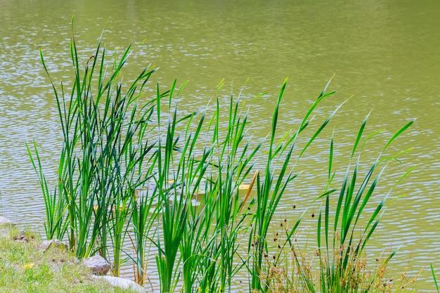 湖で育つ葦