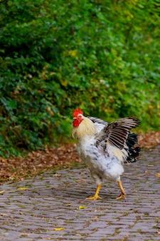 道路上の黒い白い鶏