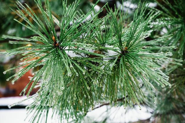 モミの木と冬の雪の森の凍るような冬の風景の背景をぼかした写真のクリスマスの背景。
