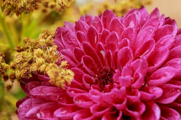 ピンクのアスターやダリアの花の雨が花びらに値下がりしましたのクローズアップ