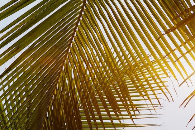 Вид снизу зеленые желтые листья кокосовой пальмы
