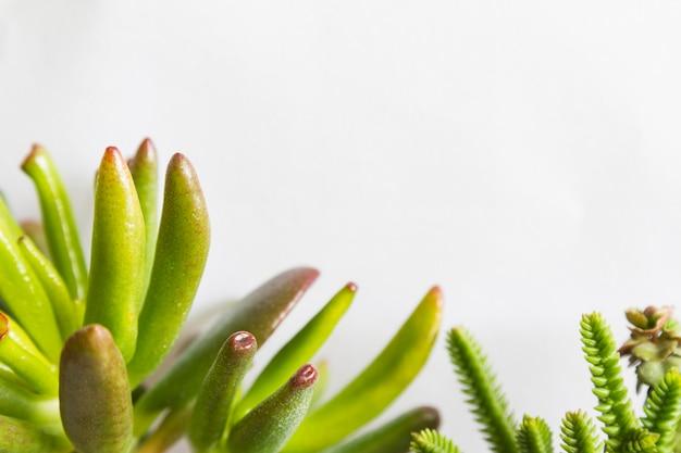 多肉植物または小さな緑の植物クラッスラ属をクローズアップ