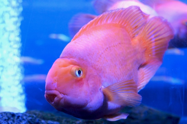 不均一なマルチカラーの照明が付いている大きい水族館、水中で異なるエキゾチックな魚を泳いでいます。
