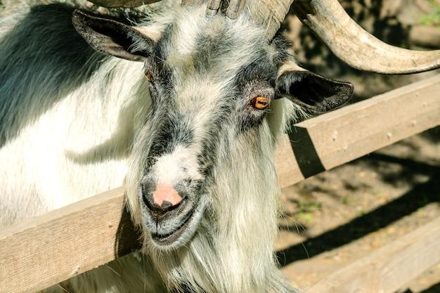 ヤギは農場の木製フェンスの後ろにあります。
