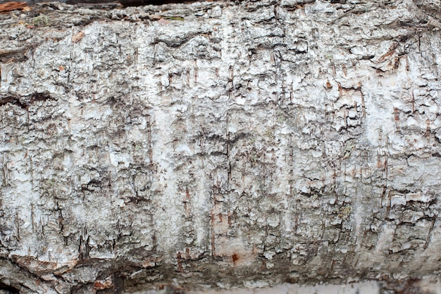 白樺の樹皮のテクスチャ