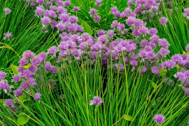 長い緑の茎に丸い紫色の花。