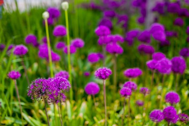 紫色の花と緑の牧草地のテクスチャ。