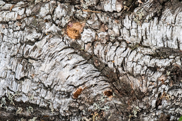 シラカバの樹皮