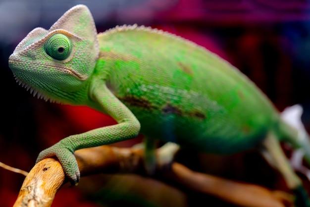 Зеленый хамелеон на ветке.