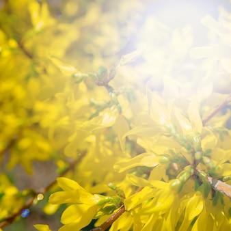 レンギョウ卵巣。美しい黄色い花。