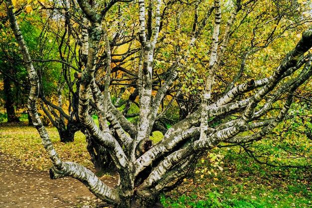 秋の公園でカーブバーチ。悲しい秋の風景。