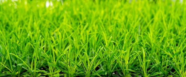 Молодые зеленые растения в поле фермы. сельское хозяйство. выращивание съедобных растений.
