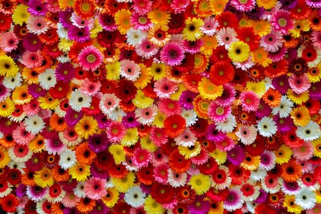 赤、ピンク、黄色、白のアスター。花の背景。