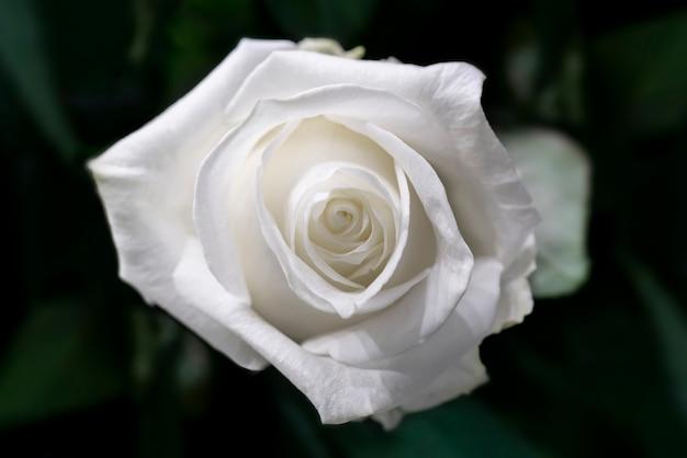美しい結婚式の白いバラ