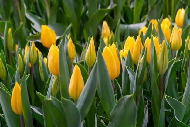 美しい黄色のチューリップ。