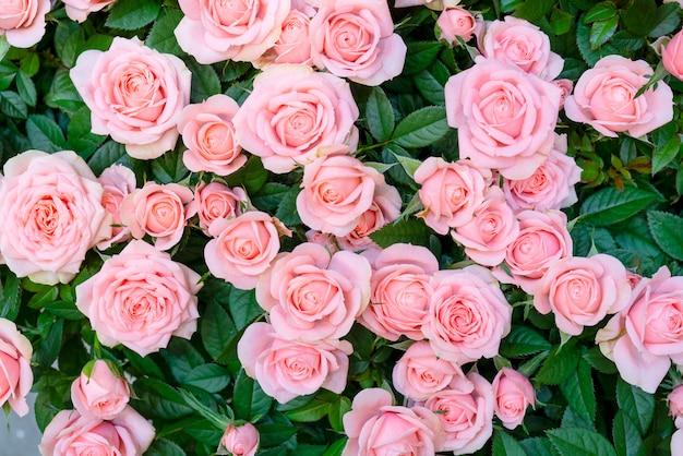 結婚式や婚約のための美しいピンクのバラ。