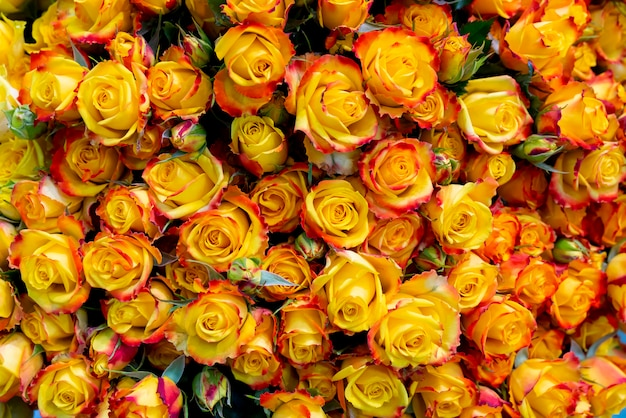 美しい黄色のバラの背景。結婚式と婚約の花の背景。