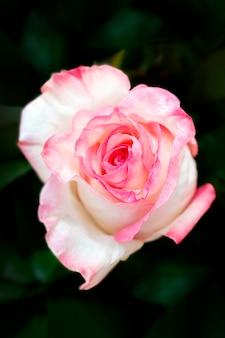 美しい結婚式のピンクのバラ