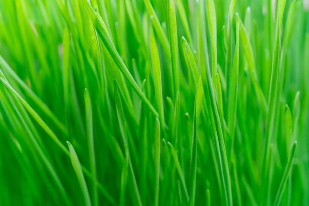 農場で若い緑の植物。農業。食用植物の栽培。