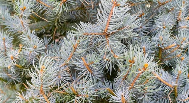 スプルースの枝-自然な背景。クリスマス休日。