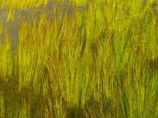 Зеленые стебли водорослей в чистой воде реки.