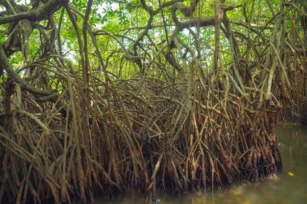 スリランカの川のマングローブ。