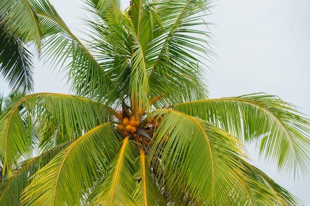 鮮やかな黄色のロイヤルココナッツの束。