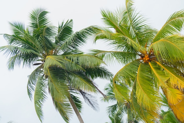 Куча ярко-желтых королевских кокосов.
