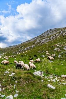 山の畑の羊。