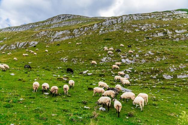 Овцы на горных полях.