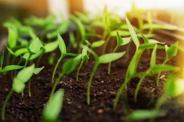 輝く太陽の光に手を伸ばすボックスで成長している苗。